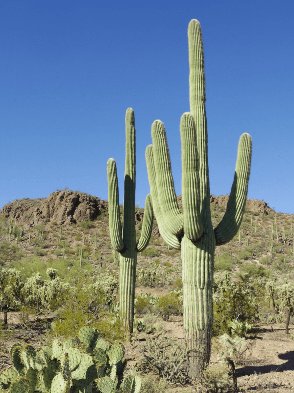 Saguaro cactus (Carnegiea gigantea) one of the prominent plants in the Sonoran Desert.