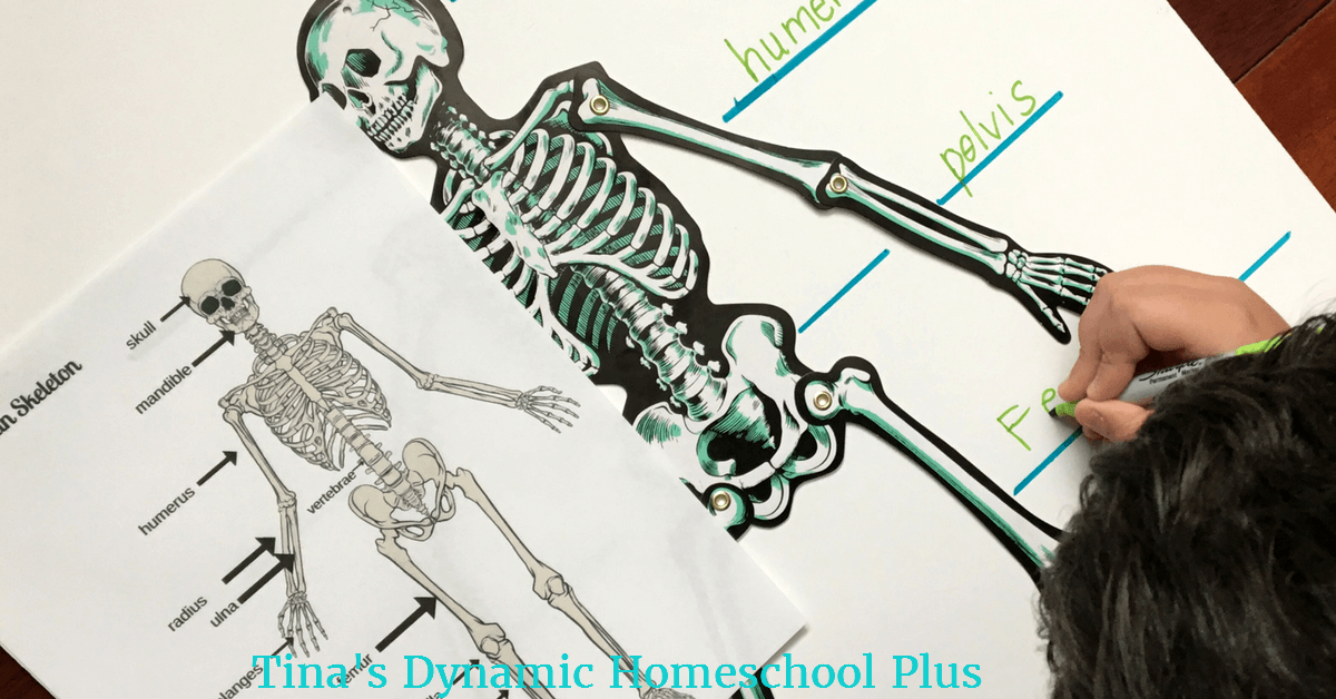 hands-on activities archives - tina's dynamic homeschool plus, Skeleton