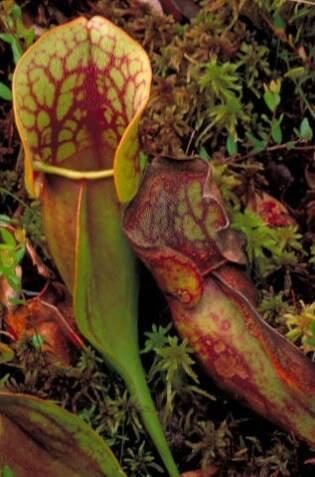 Pitcher Plant @ Tina's Dynamic Homeschool Plus