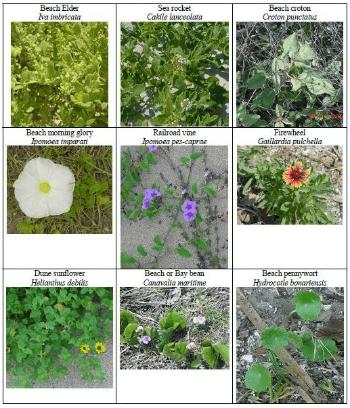 Florida Beach Plants