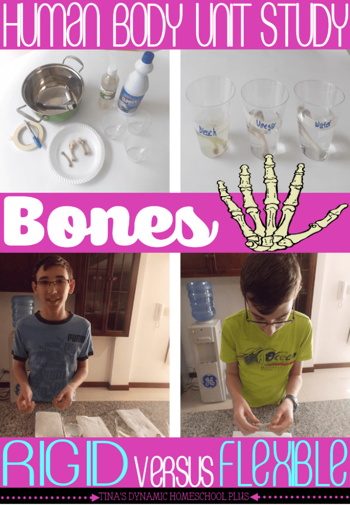 Human Body Unit Study. Rigid versus Flexible Bones Hands-on Activity @ Tina's Dynamic Homeschool Plus