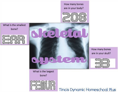Skeleton System Quick Quiz