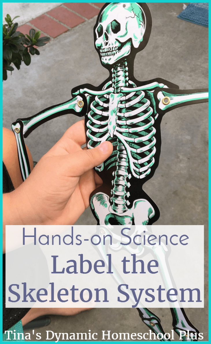 If you have a hands-on learner, he'll love learning about the skeleton system with this fun hands-on science activity. Scoot by and see how to do it @ Tina's Dynamic Homeschool Plus