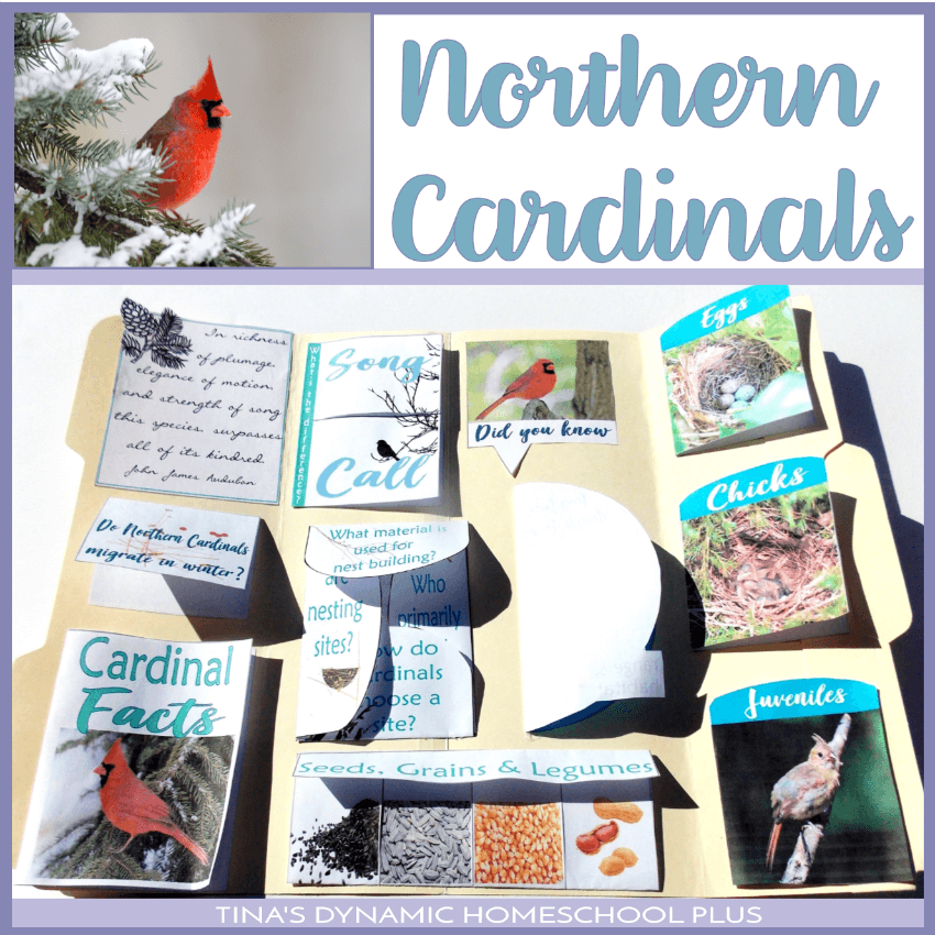 The Northern Cardinal bird is such a beautiful and bright bird during winter and because it doesn't migrate, it's a great bird to study really anytime. Click here to grab this free Northern Cardinal Bird Lapbook and Unit Study!