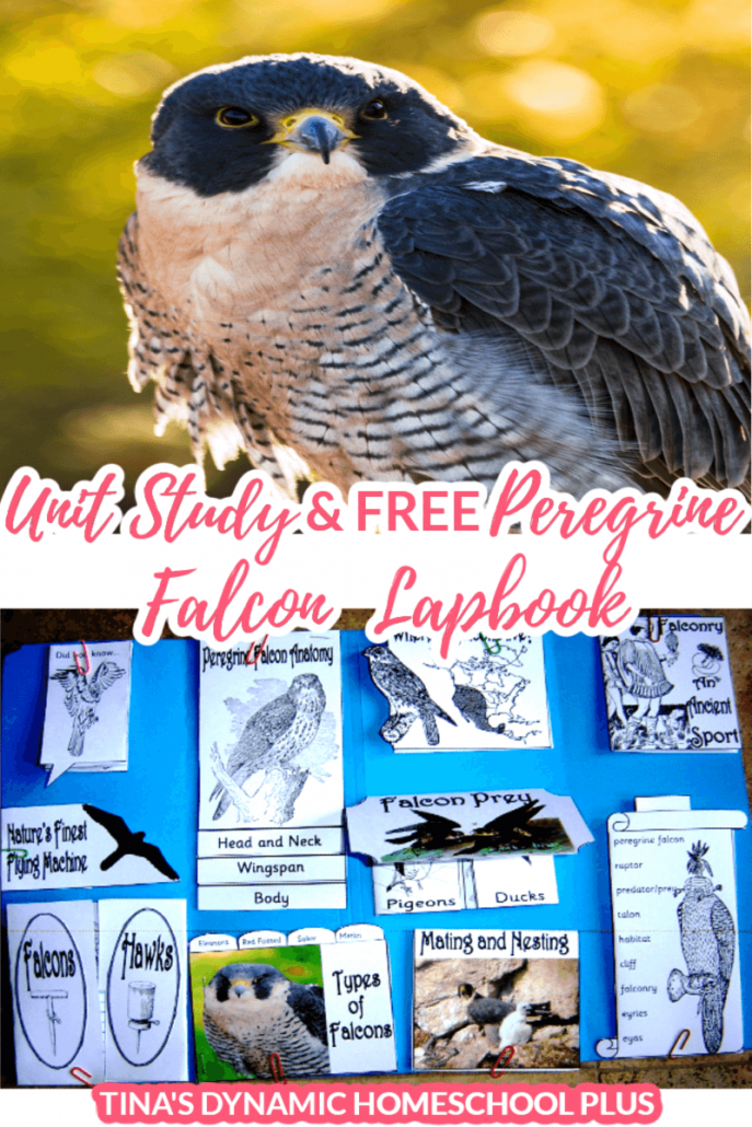 Studying about raptors or Peregrine Falcons? Your kids will love this fun peregrine falcon homeschool unit study and lapbook. Grab this lapbook for diddly squat. Click here! #homeschoolunitstudy #peregrinefalcon #sciencelapbook #handsonlearning