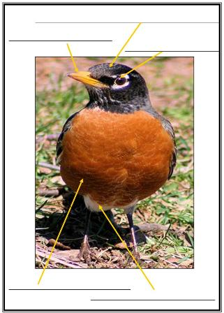 North American Robin Unit Study